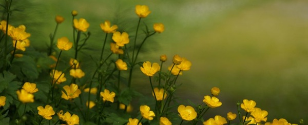 Buttercups and Grass