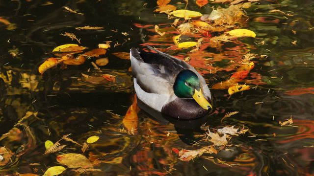 nature photo duck in pond