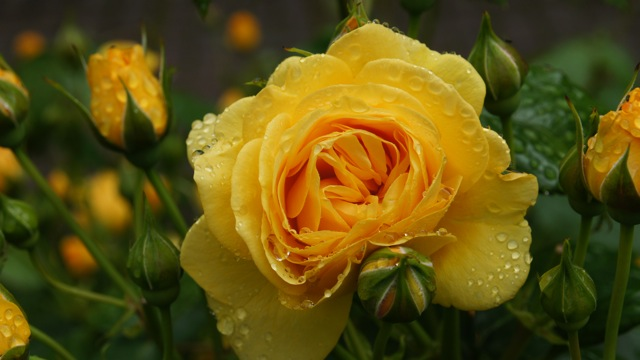 Yellow Rose with Raindrops on Petal