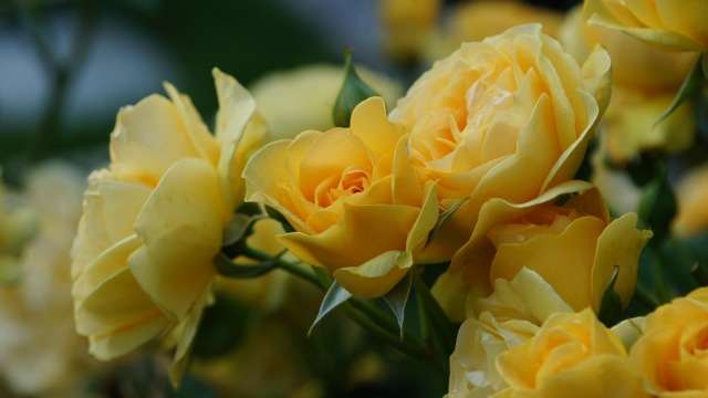 group of yellow roses